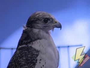 Falconzord in animal form